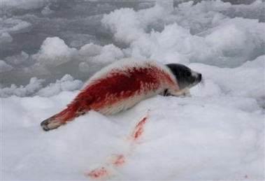 the annual slaughter of Harp seal baby's